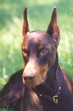 All of our dobes are for loving adoption and not for sale. You can help with a donation.